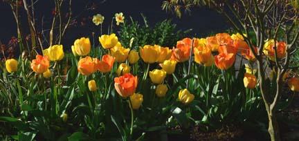 tulips group