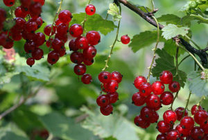 Red_currants bor wiki